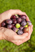 Good handful of ripe olives — Stock Photo