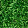 Green Thuja Hedge Background — Stock Photo