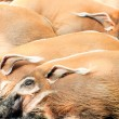 Red River Hogs, Potamochoerus porcus - Stock Photo