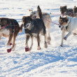 Team of sleigh dogs pulling - Stock Photo