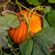 Stock Photo: Pumpkin Plant
