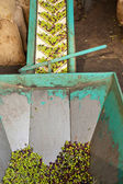 Olive Mill Conveyor Belt Feed — Stock Photo