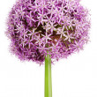 Allium, Purple garlic flowers — Stock Photo #6043607