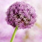 Allium, Purple garlic flowers — Stock Photo
