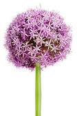 Allium, Purple garlic flowers — Stock Photo