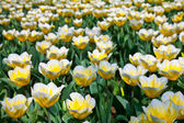 Tulips - Jaap Groot varieties — Stock Photo