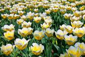 Tulips - Jaap Groot varieties — Stock Photo