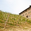 Italian vineyard - Monferrato — Foto Stock