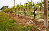 Barbera vineyard - Italy — Stock Photo
