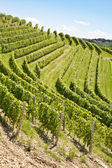 Vineyard in Italy — Stock Photo
