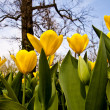 Stock Photo: Tulips - Golden varietie