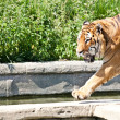 Stock Photo: Walking tiger (PantherTigris)