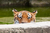 Danger: hungry tiger — Stock Photo