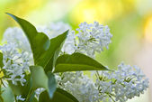 Lilac. — Stock Photo