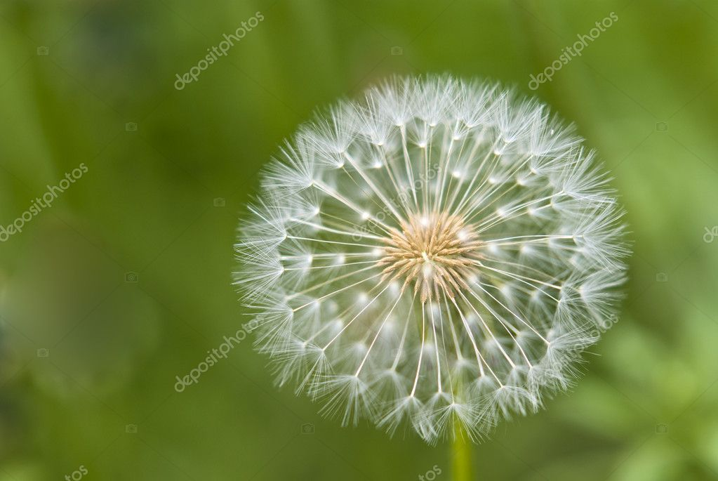 Dandelion flower in the background.  Stock Photo #5642227