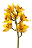 Fresh bright yellow orchid — 图库照片