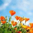 Royalty-Free Stock Photo: Orange Poppies Field