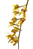 Fresh bright yellow orchid — Stock Photo
