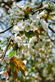 Almond tree with blossoms — Stock Photo