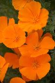 Orange Poppies Field — Stock Photo