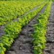 Green beans field - Stockfoto
