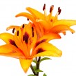 Orange lily flowers — Stock Photo #5764493