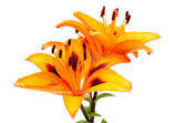 Orange lily flowers — Stock Photo