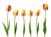 Set of yellow and red tulips — Stock Photo