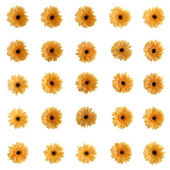 Yellow gerbera flowers — Stock Photo