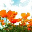 Orange Poppies Field — Stock Photo