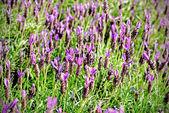 Heather Calluna vulgaris bush — Stock Photo