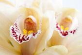 Orchidea kwiat bliska, selektywne focus — Zdjęcie stockowe