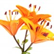 Orange lily flowers — Stock Photo #6298404