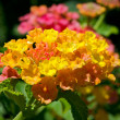 Lantana Flower — Stock Photo