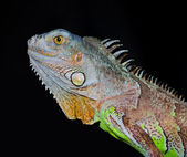 Iguana Closeup — Stock Photo