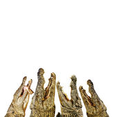 Hungry Alligators — ストック写真