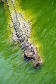 Alligator jacht in de rivier — Stockfoto