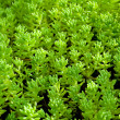 Sedum, moss shoots close-up - Stock Photo