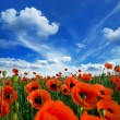 Poppies blooming — Stock Photo #6309736