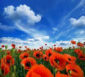 Amapolas en flor — Foto de Stock