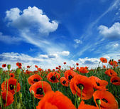 Poppies blooming — Stock Photo