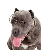 "Dog breed ""Cane Corso"" — Foto de Stock"