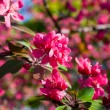 Red flowers of fruit trees — Stock Photo #6742666