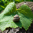 Garden snail on a wet leaf vine — Stock Photo