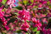 Czerwonych kwiatów drzew owocowych — Zdjęcie stockowe