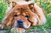 Portrait of a dog breed chow-chow — Stock Photo