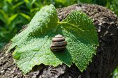 Garden snail on a wet leaf vine — Stock Photo