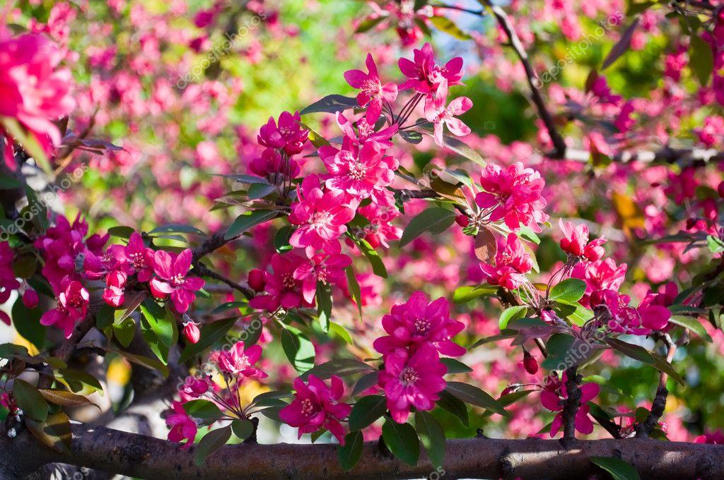 jardim rosas vermelhas:Flores vermelhas de árvores de fruto — Fotografias de Stock