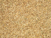Oats grain. — Stock Photo