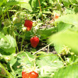 Stock Photo: Ripe strawberry growing.